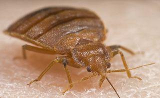 Bedbug_main
